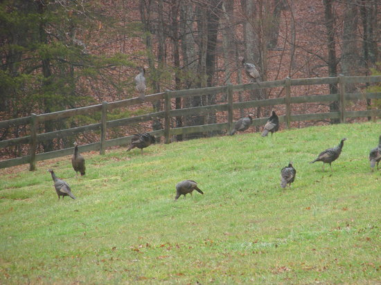 Barking Fox Farm Guest House: Flock of wild turkeys on farm