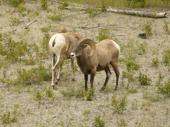 Jasper Tour Company: Big horn sheep