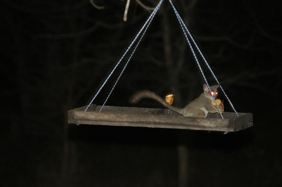 Turaco Lodge: bush baby