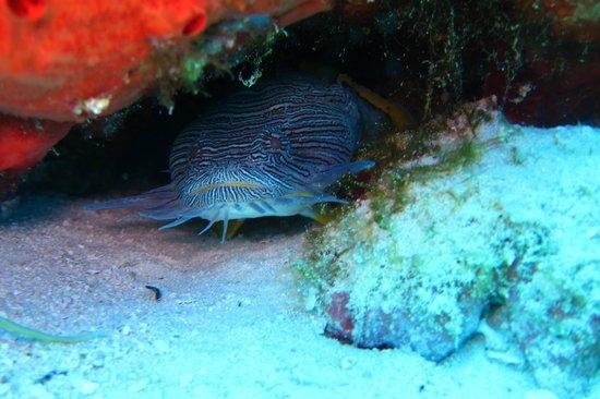 Blue XT Sea Diving: Splendid Toad Fish