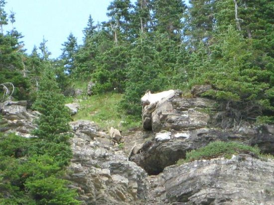 Lake McDonald Lodge: Moutain Goat above Waterfall at Logan Pass on Red Bus Tour-West Alpine Trip