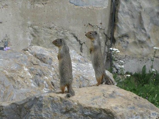 Lake McDonald Lodge: Prairie Dogs at Logan Pass Visitors Center-Red Bus Tour