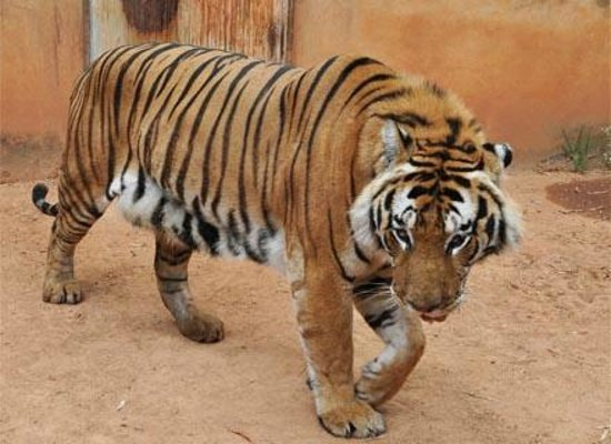 Zoologico de Americana : Tigre- Siberiano