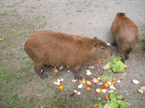 Greater Vancouver Zoo: Largest rodents in the world