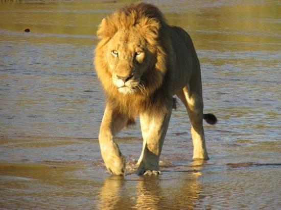 Dulini Lodge: lion