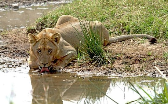 Kenya Incentive Tours & Safaris - Day Tours : Lion at a water hole sipping!