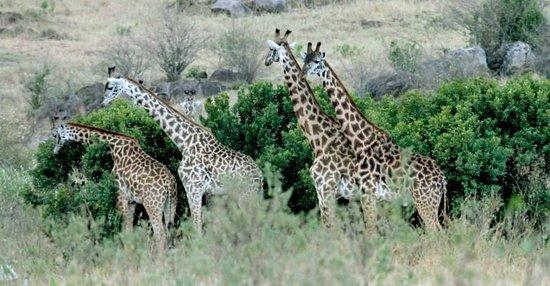 Kenya Incentive Tours & Safaris - Day Tours : Giraffes everywhere...
