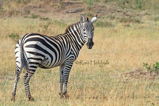 Kenya Incentive Tours & Safaris - Day Tours : Zebra posing!