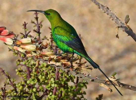 Karoo National Park Unterkunfte: Malachite Sunbird