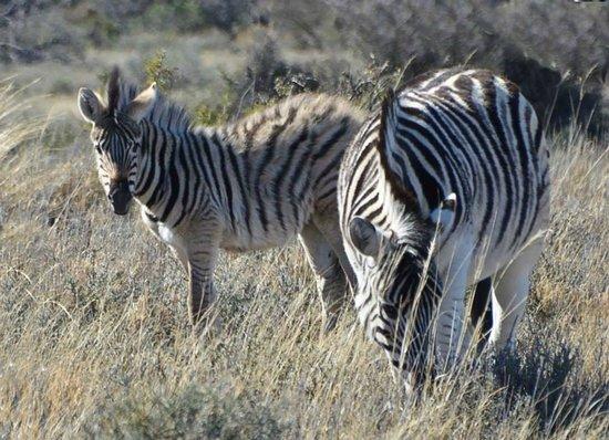 Karoo National Park Unterkunfte: Zebra foal