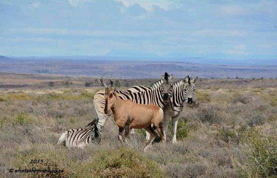 Karoo National Park Unterkunfte: Red Hartebeest and Zebra