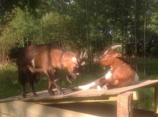 Maison Lespoune : Funny goats