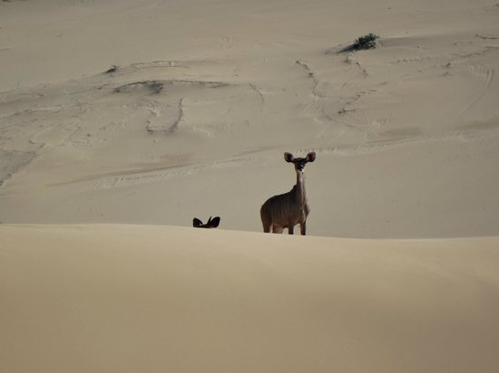 Panorama Guest House : I walked along the beach from Seven Sisters to town and saw these Kudu in the dunes, was beautif