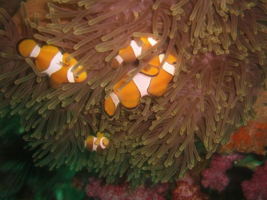 Dive Asia - Day Trips and PADI Courses: Nemo found
