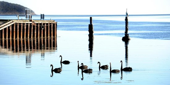 Matthew Flinders Terraces : The famous swans paddling on the calm river