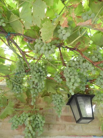 Santa Margherita Guesthouse: Organic grape Vine at the guesthouse garden