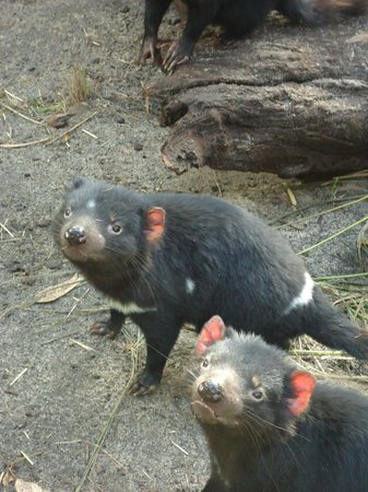 Peel Zoo: Healthy and happy looking Tazzie devils