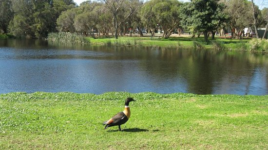 Karrinyup Waters Resort: Just 1 of many inhabitants at the Lake