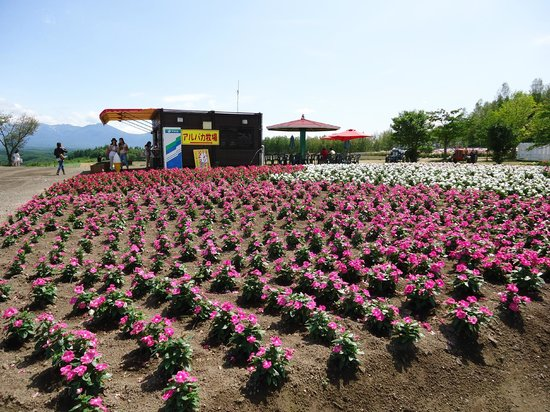 Farm Tomita: Flowers in full bloom