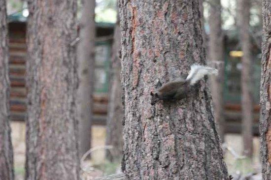Grand Canyon Lodge - North Rim: Native Squirrel