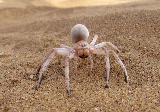 The White Lady Spider - Picture of Living Desert Adventures ...