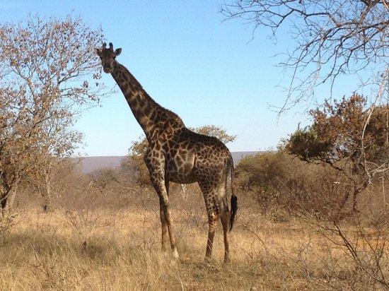 Matswani Lion Lodge : Curios giraffe