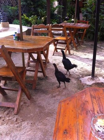 Kantiang Oasis Resort & Spa: little chickens!