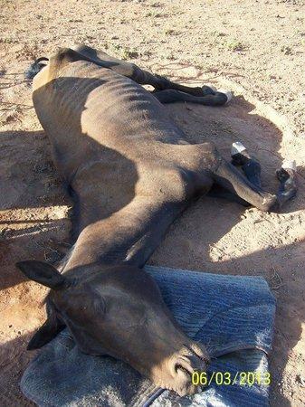 Meerkat Magic : dead horse