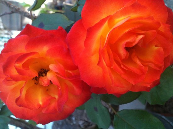 Pearland, TX: Orange rose