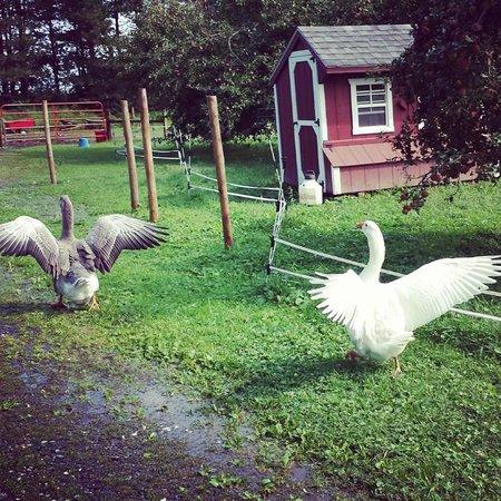 Inn BTween Farm Bed and Breakfast: Cute farm animals roaming about the barn