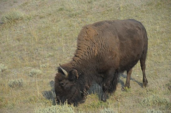 Alltrans: One of many Bison