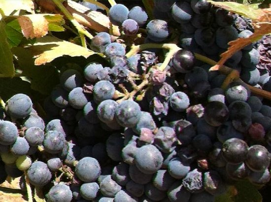 Salerno Winery: Grapes ready to harvest