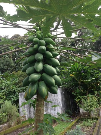 Crater Valley: Home-Grown Papayas!
