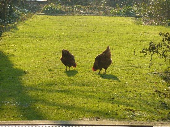 B&B Amaryllis : free range hens