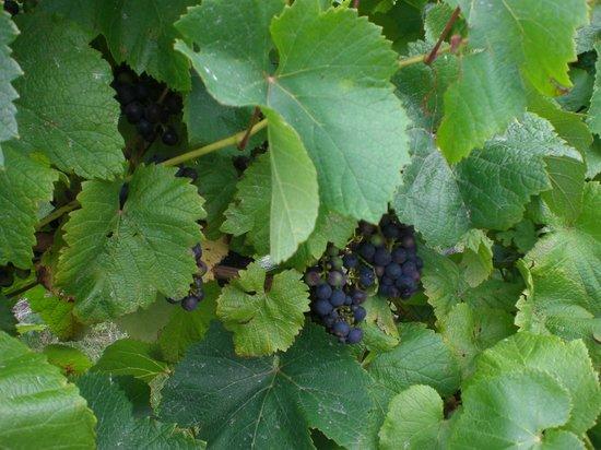 Old Walls Vineyard: Grapes.