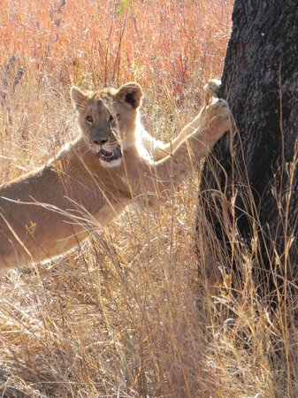 Lion scratching a tree - Picture of Horseback Africa ...