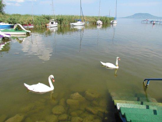 Bungalow Park: Спуск в воду. Лебеди постоянно приплывают. Шипят.