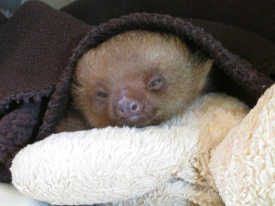 Aviarios del Caribe: Sleepy Sloth Baby
