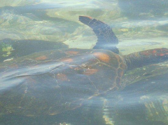 Administracion Turistica del Parque Nacional Galapagos : TORTUGAS MARINAS AL ALCANCE