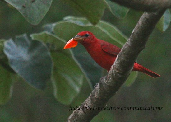 Sian Ka'an Biosphere Reserve: Summer tanager collects a leaf to offer to his mate.