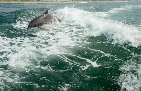 Silver Bullet Tours : Dolphins having fun riding the waves from the engine