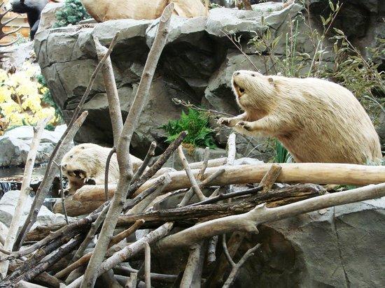 Cabela's: Beavers
