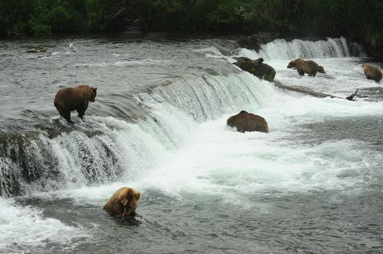 Planet Earth Adventures: Osos pescando salmones en Brooks Lodge (Alaska)