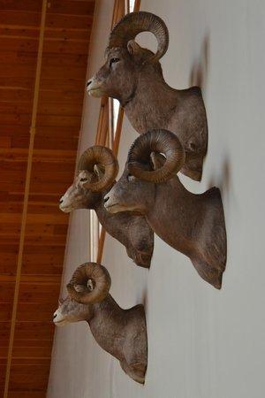 C'mon Inn of Casper: Big Horn Sheep
