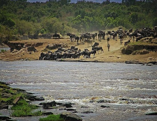 Mara River: Mara crossing during the Great Migration