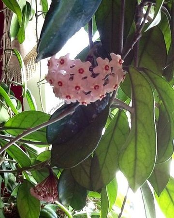 Mo's Grill & Diningroom: A beautiful bloomong Hoya hung in the corner of the room.