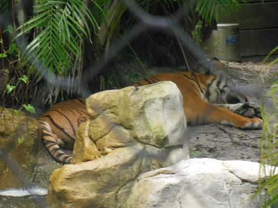 Palm Beach Zoo & Conservation Society: Sleeping Tiger