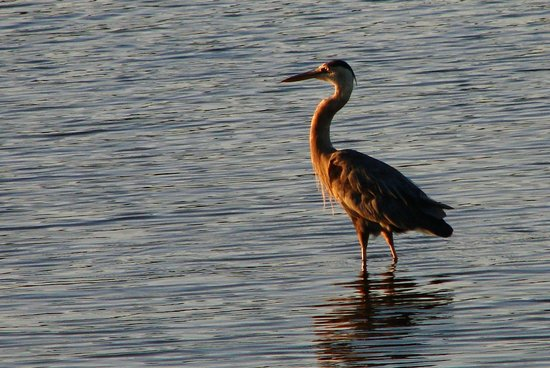 Inn at the Pier: Great Blue Heron at Sunset