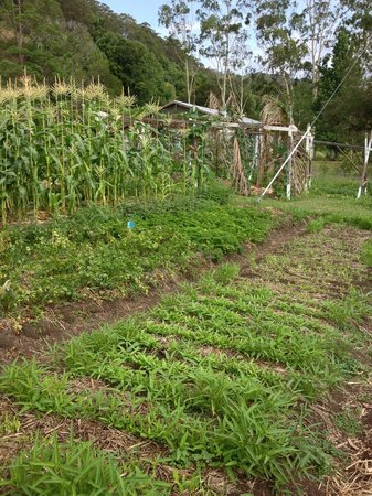 Terania Creek Bed and Breakfast: organic vegie garden