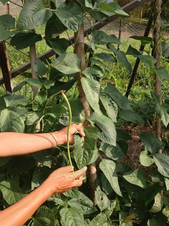 Terania Creek Bed and Breakfast: Sophia's long beans